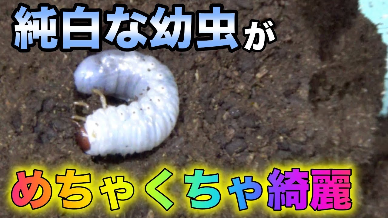 幼虫 くる て カブトムシ 出