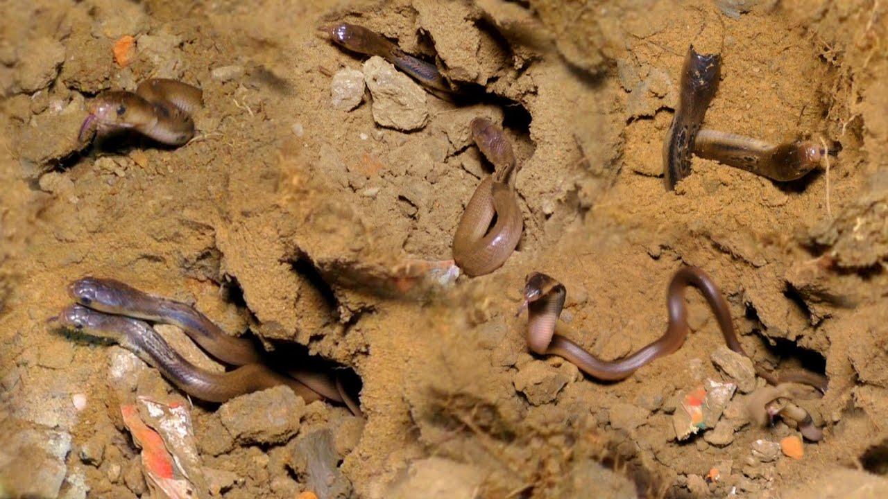 घर में एक एक करके निकले इतने जहरीले साप, देखिए महिला की जान कैसे बची।Venomous Cobra & babies rescued