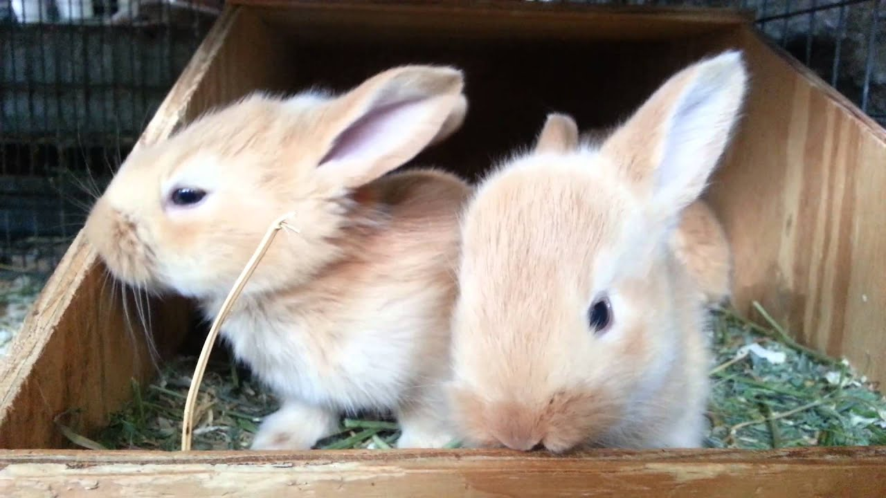 3 Week Old Fawn Flemish Giant Baby Bunnies - YouTube