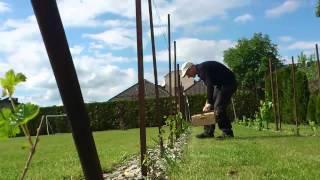 Winorośl cięcie Usunięcie nadmiaru rosnących latorośli na początku wegetacji w 2 roku uprawy