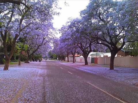 Jacaranda Tree, Pretoria in South Africa