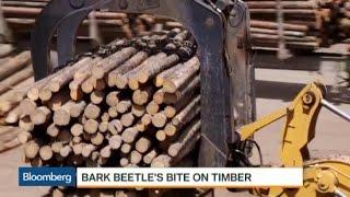 Bark Beetle's Bite Pushes Canadian Lumber to U.S.