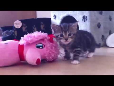 1 month old kittens 2012-09-07 swedishcutekittens
