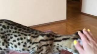 Шок! Супер ласковая африканская рысь! Сервала можно содержать у себя дома! Питомник Royal Cats