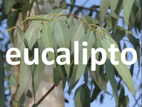 Plantas medicinales el eucalipto youtube for Planta decorativa con propiedades medicinales