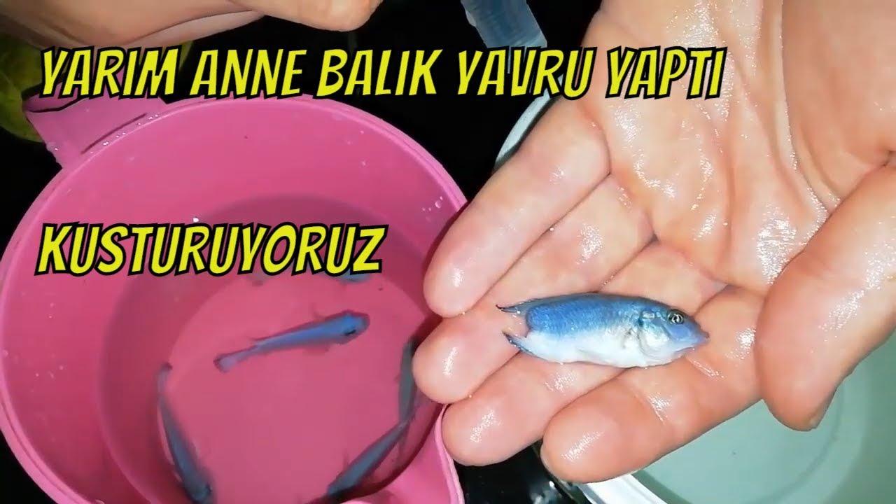 Balıklardan  nasıl daha hızlı yavru alınır- akvaryum balıkları nasıl beslenmeli -hızlı üreme ilacı