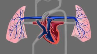 два круга кровообращения (2).mov