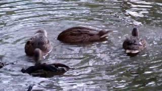 ducks on the pond in the park - kaczki na parkowym stawie