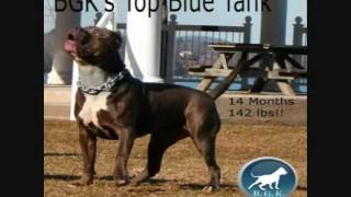 Perfect huge giant biggest largest XXL Blue Bully Pit bull, BGK's Cujo, bully big head pitbull