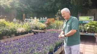 Blackbrooks Gardening tips lavender