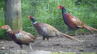 How To Raise Your Own Pheasants