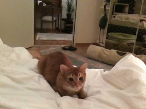 Dagobert Somali Cat