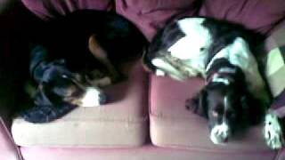 Our Foxhound and Springer Spaniel chilling out together on their ow...