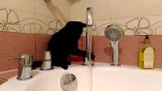 Черная кошка Багира.