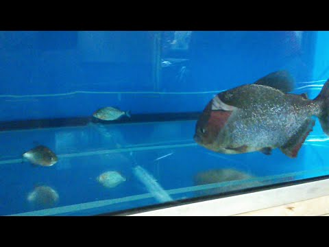 Giant Piranha Meets Baby Red Belly Piranha Face To Face