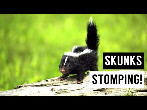 Baby SKUNKS Stomping Compilation