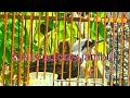 Suara Poksay Jambul  Mp3 - Mp4 Download