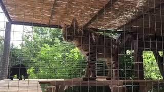 Экзотические кошки в вольер. Exotic cats in their outdoor enclosure