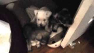Potty Training Miniature Schnauzer Pups