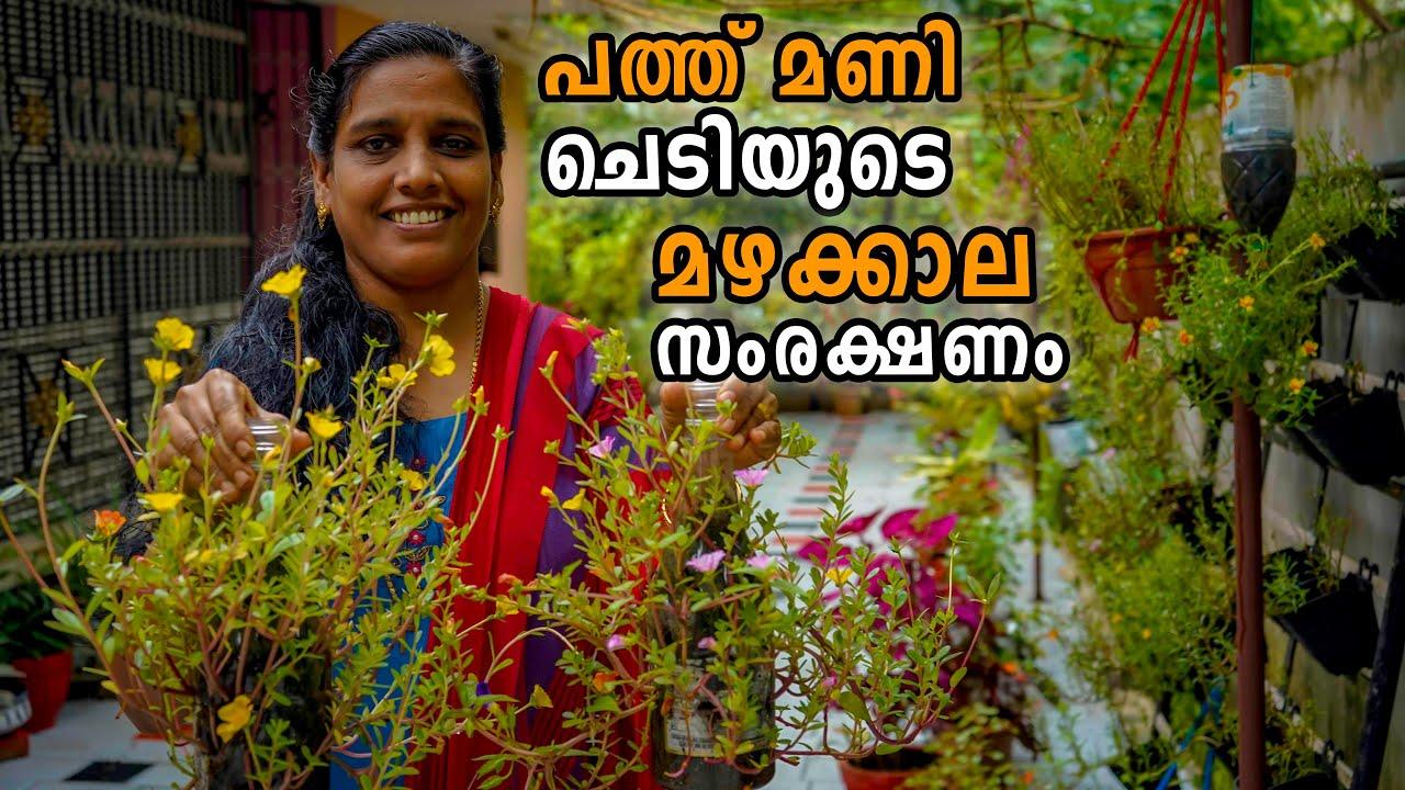 പത്ത് മണി ചെടിയുടെ മഴക്കാല  സംരക്ഷണം | Moss rose Table rose monsoon care ( Portulaca and Pursalane)