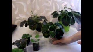 Через какое время появляются цветы у фиалок (все этапы развития)(В этом видео подробно показаны все этапы развития фиалки. От срезанного листа до появления первых цветов., 2016-04-14T10:43:46.000Z)