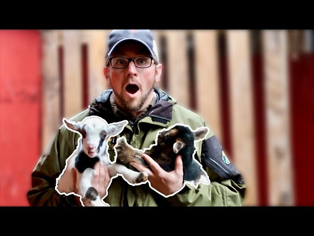 You WON't Believe IT! Finding Out the GENDER of the BABY GOATS