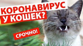 КОРОНАВИРУС У КОШЕК Кот чихает много раз