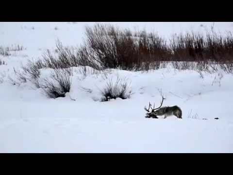 Wolves of Yellowstone - A day in the life
