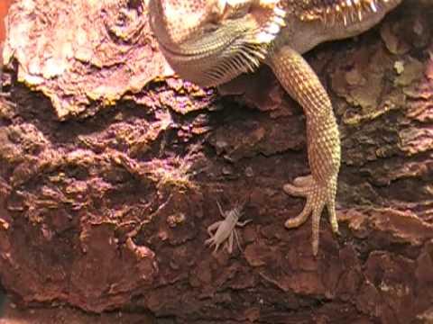 Dachiu Bearded Dragons | Bearded Dragon Breeder