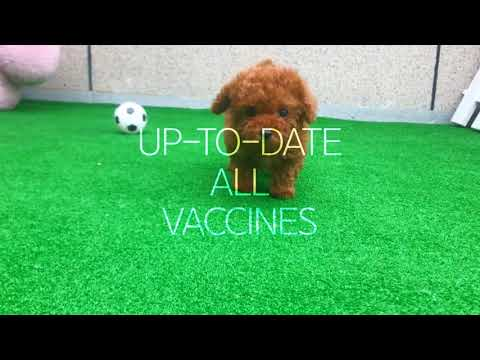 15 Off Teacup Poodle Puppies For Sale - Captain