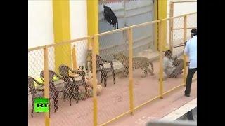 Leopard breaks into school in India, attacks 6