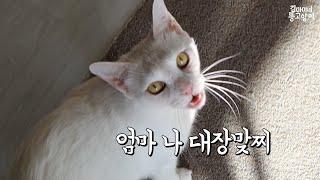집사엄마 빽으로 큰소리 뻥뻥치는 고양이 아토(Ato is doing well.)