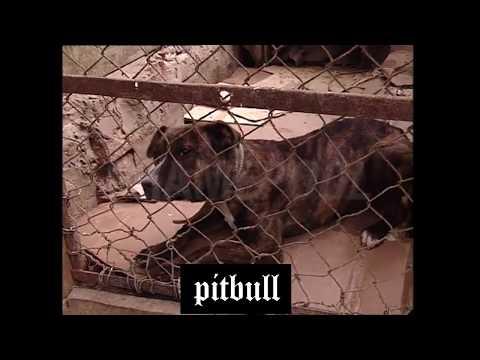 Pitbull vs Pitbull REAL 3 (Training, Fight)