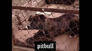 Pitbull Vs Pitbull Real Training Fight