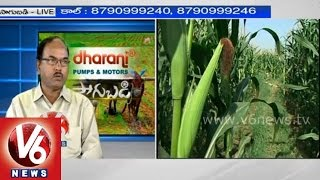 Expert suggestions for protecting maize crop - Dr. M R Sudharshan - Sagubadi