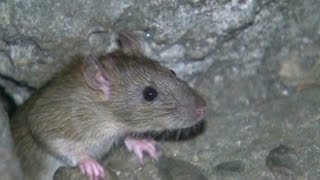 Sandy flushed rats out of tunnels onto NYC streets