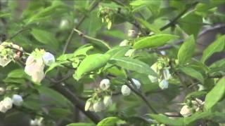 Blueberry Flowers