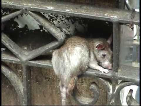 Karni Mata (Rat Temple), Rajastan, India