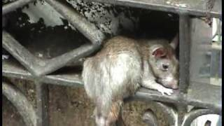 India, part 2 - Karni Mata (Rat Temple).