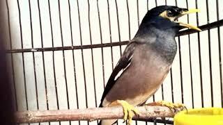 Gambar cover Terbukti ampuh!!!! Masteran Burung Jalak Nias istimewa bikin gacor ngeplong!!!