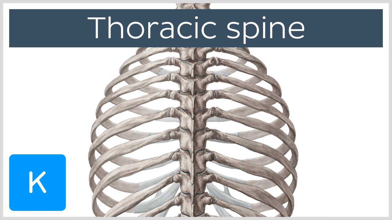 Thoracic Spine - Definition & Components - Human Anatomy | Kenhub ...