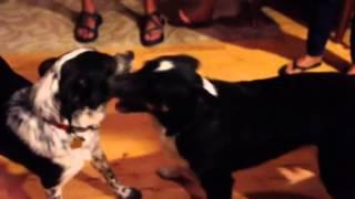 WeeEr and Baja playing tug