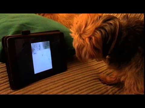 Norfolk Terrier Daisy Enjoying One of Our Videos