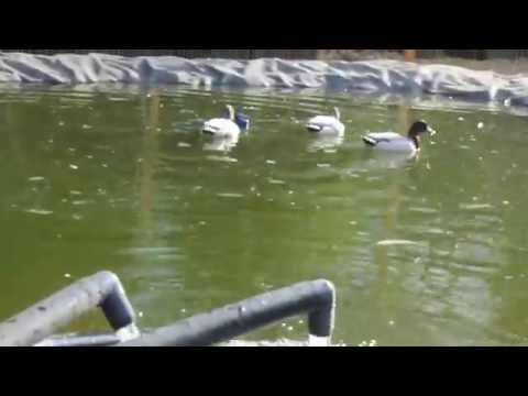 Ducks in duck pond doovi for Duck pond filter system