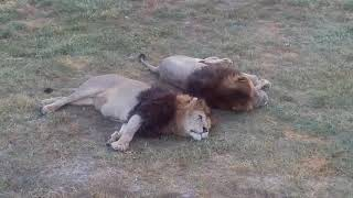 Львы крымской саванны