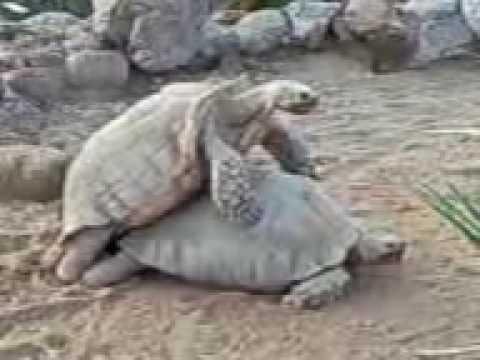 Tortoise-porn??