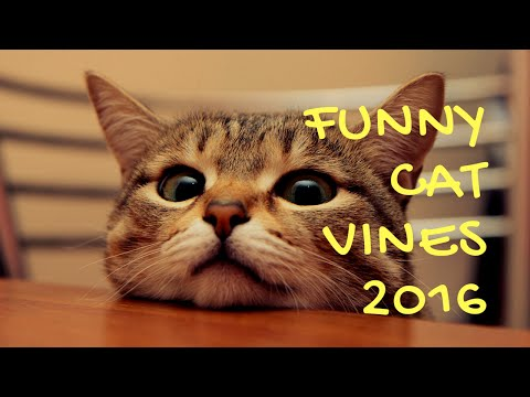 New Funny Cat Vines July 2016
