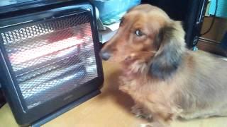 冬はストーブから離れない犬(笑)