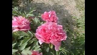 洛陽牡丹園(Luoyang Peony Garden in Kashihara Nara Japan) 20130416撮影