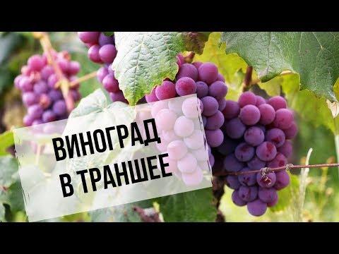 Виноград в траншее | Преимущества для Сибири | Как сделать траншею
